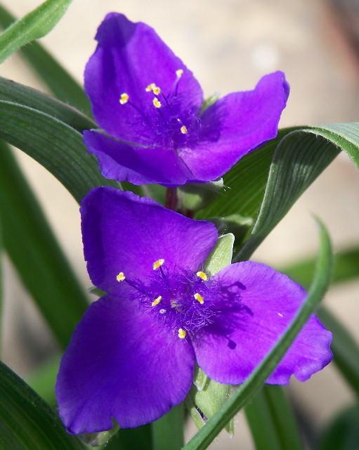 Perennial flowers rogers backyard nursery cranesville pa tradescantia virginiana 18 to 24 high and 1 to 3 wide full sunpart shade purple 3 petaled flowers with grass like foliage mightylinksfo